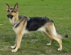 German Shepherd one of the Best Dog for the Family.