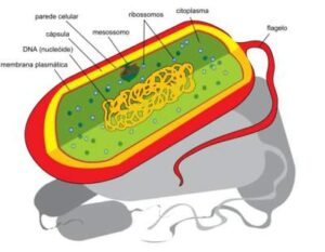 Structure and functions of prokaryotic cells