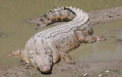 WHAT IS THE DIFFERENCE BETWEEN CROCODILE AND ALLIGATOR?